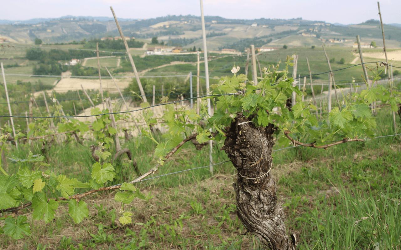 """1988 Alladio Langhe """"Kalkstein"""" Piemont, Italien"""